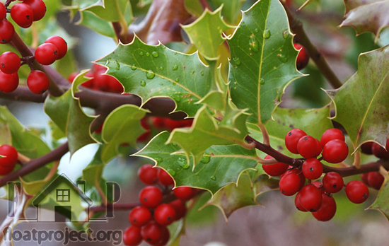 evergreen holly