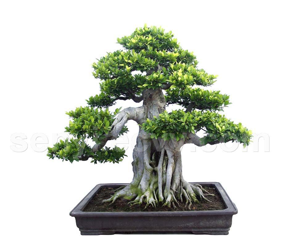 creating bonsai